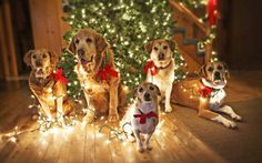 Dogs Waiting for Santa wallpaper,puppy HD wallpaper,cute dogs HD ...