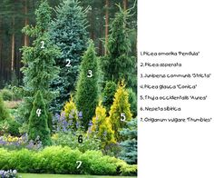 Colorful conifers for winter garden. Trio of dark green columnar forms of different varieties; single blue toned picea for accent; trio of dwarf golden columnar arborvitae. Perfection