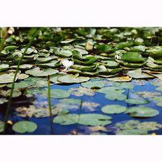 pattern #waterlily #pattern #lake #july #summerwalks #inst… | Flickr Water Lilies, Plant Leaves, Plants, Summer, Pattern, Summer Time, Patterns, Plant, Model