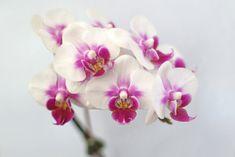 Phalaenopsis Orchid Blooms