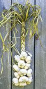 Garlic Braiding, leaves should be dampened for the easiest, strongest, and best-looking braid.