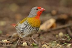 Melba Finch - The Green-winged Pytilia (Pytilia melba) is a common species of estrildid finch found in Africa.  It is found in most of Africa south of the Sahara.