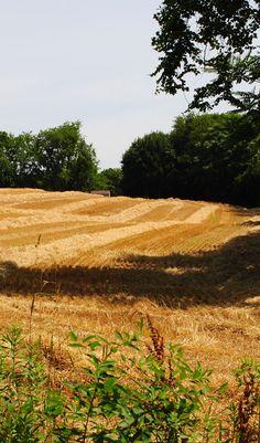 Harvested wheat-field. Lancaster Pennsylvania