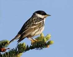 blackpoll warbler Black And White Birds, Animals, Animaux, Animal, Animales, Animais