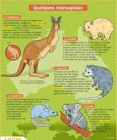 Fiche exposés : Quelques marsupiaux