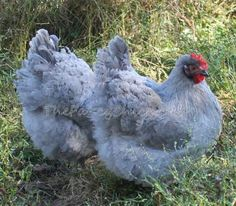 Lavender Orpington The Chicks Have Been Vaccinated For Marek S And Will Probably Ship On