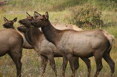 Female Elk by Melissa Carroll Coyote Hunting, Pheasant Hunting, Archery Hunting, Saltwater Fishing, Kayak Fishing, Elk Drawing, Cow Elk, Elk Pictures, Deer