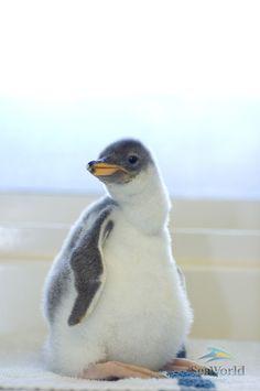 Penguin in front of a bank in tulsa ok pinterest - Pingouin rigolo ...