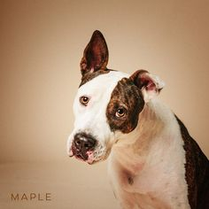"""11/15/16-HOUSTON - """"My pregnancy was inconvenient. So they brought my 4 6-day old puppies & I to the SPCA. Just like that. I've got a few choice words for them.""""  Maple is available for adoption through Pup Squad Animal Rescue."""