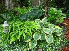 Hostas like rich and moist organic soils, morning sun and afternoon shade. They are heavy feeders.  Apply fertilizer in early spring and again in mid-summer