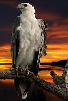 Sea Eagle by Ressie