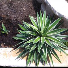 Striped Caribbean agave. Agave angustifolia variegata