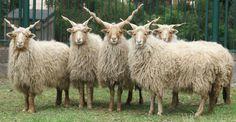 Racka, an ancient Hungarian breed of sheep.
