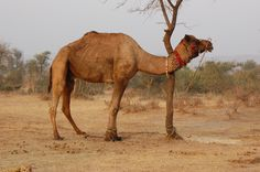 camel images pictures | Free 7art camels clipart and wallpapers: royalty free attached-camel ...