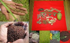 Medicinal Rice based Tribal Medicines for Diabetes Complications and Metabolic Disorders (TH Group-787) from Pankaj Oudhia's Medicinal Plant Database. Encyclopedia of Tribal Medicines by Pankaj Oudhia. #TribalMedicines #Ethnobotany #Healing