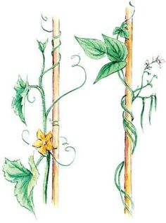 Elayne Sears' illustration on vertical gardening techniques. Given even a little encouragement, many plants will climb and climb.
