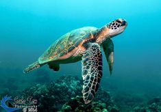 Such a pretty sea turtle! Great photography Found this loving turtle photo while browsing :) Sea Turtle Images, Sea Turtle Pictures, Sea Turtle Art, Pictures Of Sea Turtles, Ocean Turtle, Turtle Swimming, Save The Sea Turtles, Baby Sea Turtles, Cute Turtles