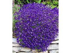 Winterharter Bodendecker Blaukissen 'Cascade Blue', 3 Pflanzen Aubrieta 1 Flora, Planting Flowers, Plants, Garden, Pansies, Peonies, Outdoor, Flowers, Lily