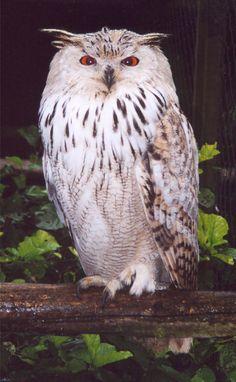 Siberian Eagle Owl (Bubo bubo sibiricus). Photo by Lars Koerner.