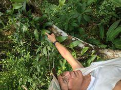 6 month old vanilla plant in flower in Pavonas Costa Rica