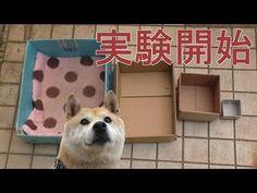 おもしろかわいい!お気に入りの箱が小さくなっていたら柴犬はどうするか? | BUZZmag