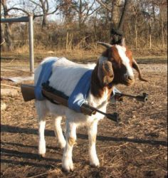 Goatse Strikes Back In This Picture: Photo of goat with guns