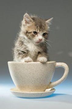 小貓在一個杯子