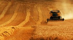 Combine harvester gathers the wheat crop, England