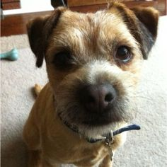 """ wanna play?"" asks Boarder Terrier Monty.."