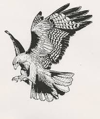 red tailed hawk wingspan illustration - Google Search