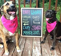 Our Pregnancy announcement with the dogs