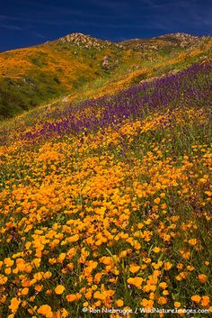 Wildflowers near Lake Hodges, California; photo by Ron Niebrugge; (Papaveraceae: Eschscholzia californica; Hydrophyllaceae: Phacelia parryi)