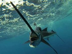 Marlin on the line. Florida Keys fishing