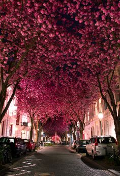 I think these are either Tabebuia impetiginosa (pink trumpet trees) or Kwanzan cherry trees.