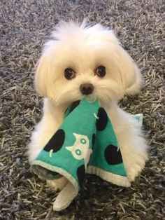 Untitled - Maltese World - Puppies Tiny Puppies, Kittens And Puppies, Cute Dogs And Puppies, I Love Dogs, Doggies, Teacup Puppies, Cute Funny Animals, Cute Baby Animals, Animals And Pets