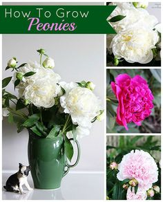 Tips on how to grow peonies.