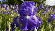 iris.jpg (159.11 Kb)