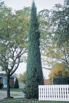 Juniperus virginiana 'Skyrocket' Extremely slender columnar form with tight, compact branching. Bluish-green foliage. Requires little trimming to maintain shape. 13'H 2'D