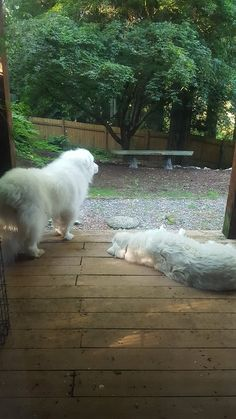 Some great big pyrenees dogs enjoying the view before their trip to Germany this morning.