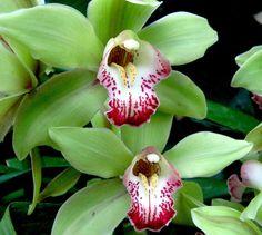Pink And Green Cymbidium Orchids Photograph