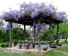A Wisteria growing over the Pergola........WOW,.....LOVE THIS