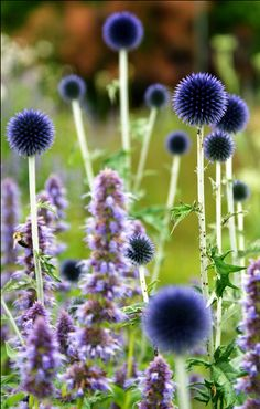 Globe Thistle...a Long time favorite of mine.