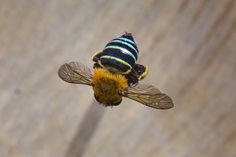 Blue Banded Bee and Crane Fly up close Bee Identification, Honey Bee Tattoo, Types Of Bees, Bee Wings, Dragonfly Insect, Bee Do, I Love Bees, Bee Photo, Bees And Wasps