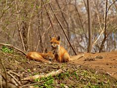 kit foxens by Thomas Young