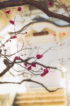 Une autre photo autour du thème des couleurs de la ville pour ce mardi avec les umenohana !  Même si les cerisiers ne fleurissent pas avant mars-avril à Tokyo, on peut admirer l'hiver les fleurs de pruniers, comme celles ci au rose prononcé au fameux temple des maneki neko, Gotokuji.  Il y a des pruniers un peu partout dans les jardins de la capitale alors