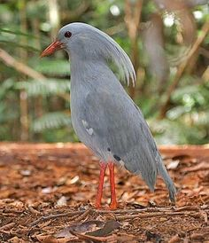 **Kagu, a bird in its own unique family is almost flightless spending almost all it's time on the | http://beautifulbirdofparadise.blogspot.com