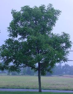 Black Walnut Trees, nuts & syrup.