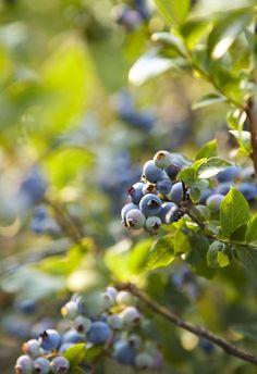 Heidelbeere Blaubeere Strauch