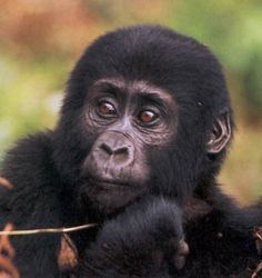 Mountain gorilla toddler.KMRA - Mountain gorilla - Wikipedia, the free encyclopedia