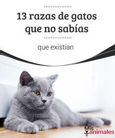 13 razas de gatos que no sabías que existían  Si te gustan los gatos no te puedes perder este artículo en el que conocerás a 13 razas de gatos poco comunes. ¡Quédate a verlo! #razas #gatos #desconocidas #alimentación